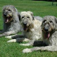 McCuskers Irish Wolfhounds