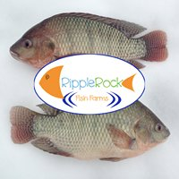 Ripple Rock Fish Farms