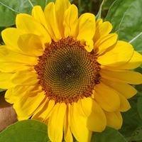 Addy's Sunflowers