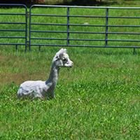 Lavender Hill Farm Alpacas