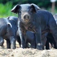 Le Porc noir du causse de Padirac