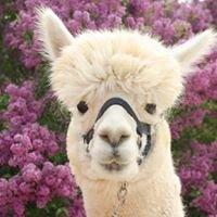 Cowboy Camelids Alpaca Ranch