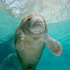 River Ventures - Swim with Manatees