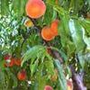 Peachy Page Farm  Scurry, Texas