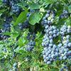 The Wild Blueberry Restaurant