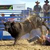4S Ranch bulls