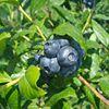 Decker's Berries