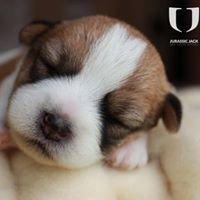 Jack Russell Terrier - Hodowla Jurassic Jack