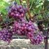 Castle Rock Vineyards