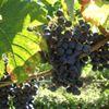 Vignobles & Maison de Tournefeuille