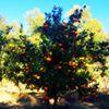 L'Hoste Citrus