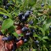 Tison's Blueberry Farm