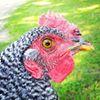 Emily's Poultry Farm