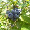 Kentucky Blueberry Growers Association - KBGA