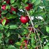Sullivan's Orchard