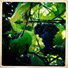 Molly's Vineyard