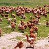 Mary's Chicken farm