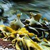 VitaminSea Seaweed