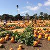 Lane Farms Pumpkin Patch
