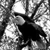 Mountaintop Eagle