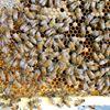 Tybee Island Hives