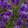 Purple Adobe Lavender Farm, Abiquiu, New Mexico