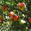 In Den Appelboom