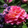 Lavendel und Rosen Rosenspezial