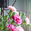 Carnations Anjers Valstar Handling