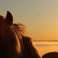 Elevage de Laum, haflinger et connemara