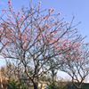 芬園花卉休憩園區-櫻花園區