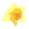 Mells Daffodil Festival