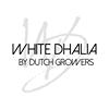 White Dhalia by Dutch