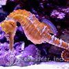 Ocean Rider Seahorse Farm & Seahorse Hawaii Foundation
