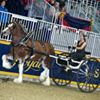 Sandy Acres Clydesdales