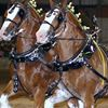 larsons clydesdales