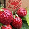 Cottle Strawberry Farm