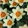 Meeuwissen bloembollen