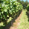 Lily Farm Vineyard
