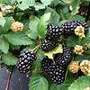 Wakulla Berries