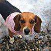 Tall Tails Beagle Rescue Freeport Maine