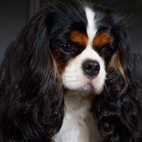 Cambryce Cavalier King Charles Spaniels