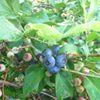 Azul Dulce Blueberries