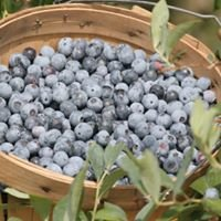 Blueberry Hill Farms