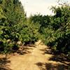 Vancil-Polehn Farm Plum and Pear U-Pick