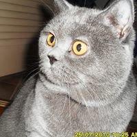Mavis - British Blue Cat