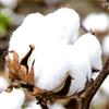 Little Bales of Cotton LLC