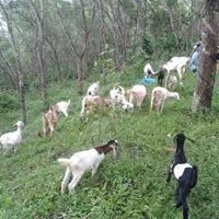 Sangeetha Goat Farm