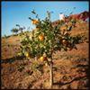 Citracado Family Farms