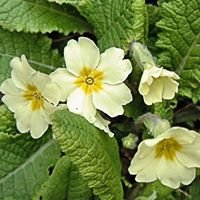 British Wild Flower Plants
